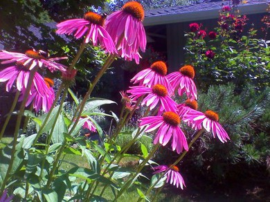 Bright pink flowers in a flower bed in yard.