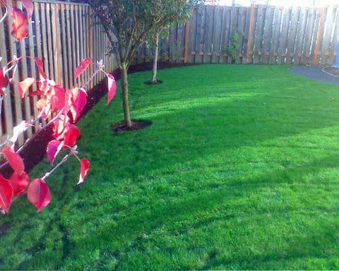Beautifully mowed lawn in backyard. Bright red leaves. Great lawn maintenance. Wooden fence surrounding the backyard.