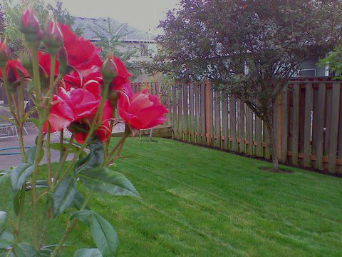 Beautifully mowed lawn in backyard. Bright pink flowers. Great lawn maintenance. Wooden fence to the side.