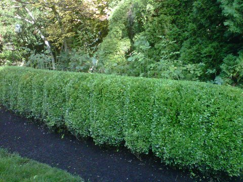 Perfectly trimmed green hedges in front yard. Modern Landscape Maintenance. Lawn care, lawn maintenance, mulching, bark-dust