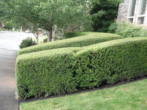 Perfectly trimmed green hedges in front yard. Modern Landscape Maintenance.