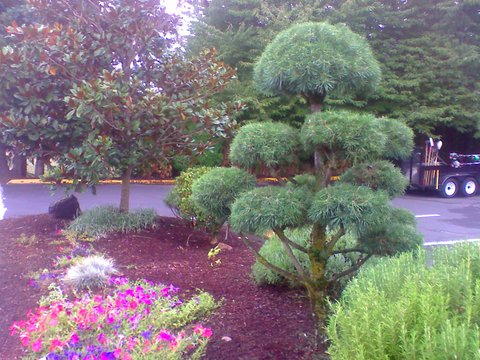 Beautiful trimmed Globe tree in a front yard, lawn care, landscape maintenance Portland, front yard care