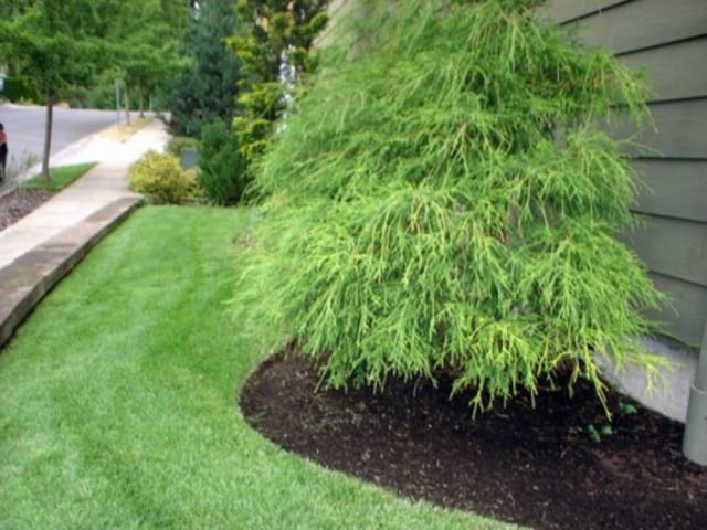 Front yard mulched, Mulching under tree in front yard, lawn care, mulching services
